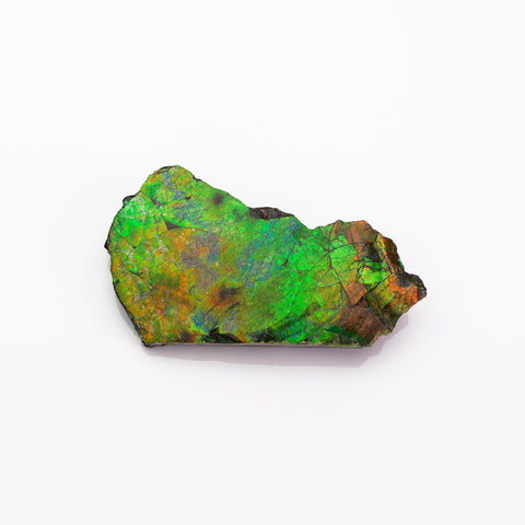 Gem Ammolite Ammonite from Alberta, Canada (112.5 grams)