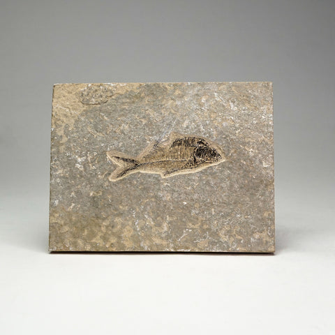 Knightia Fossil Fish from Wyoming (518.3 grams)