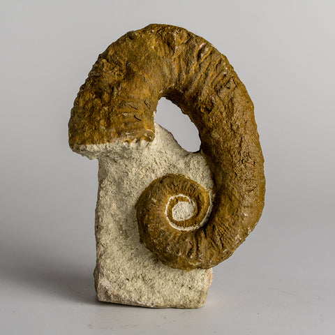 Heteromorph Ammonite (147 grams)