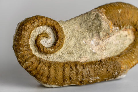 Heteromorph Ammonite (165.4 grams)