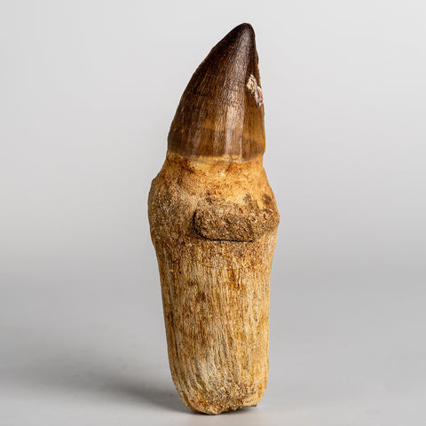 Mosasaur Tooth From Phosphate Deposits - Khouribga, Morocco (97 grams)