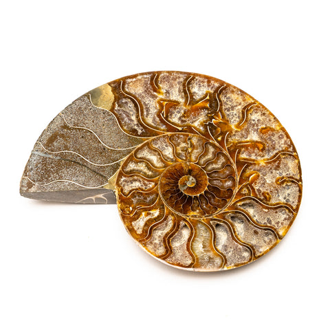 Calcified Ammonite Halve From Madagascar (223.7 grams)