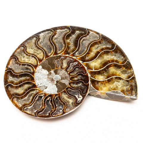 Calcified Ammonite Half From Madagascar (393.8 grams)