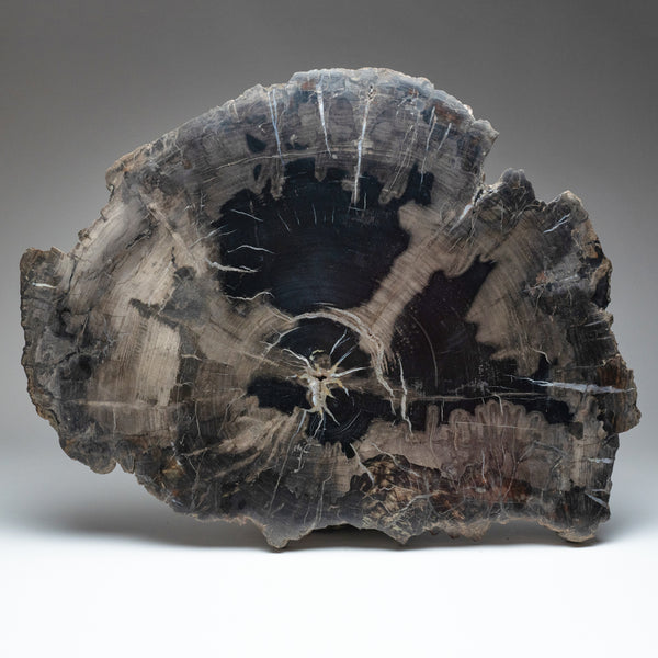 Petrified Wood Slice from Madagascar (17 pounds)