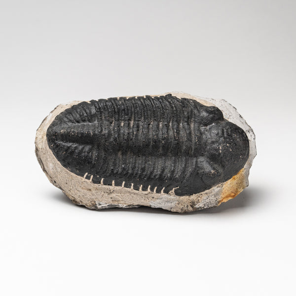 Asaphus intermedius Trilobite from Morocco (547.7 grams)