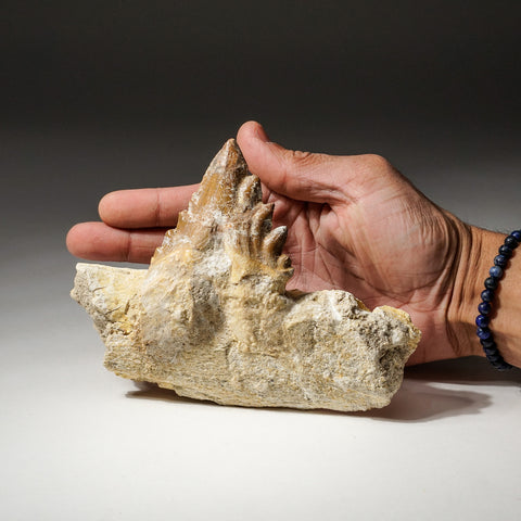 Genuine Natural Pre Historic Basilousaurus Whale Tooth on Matrix