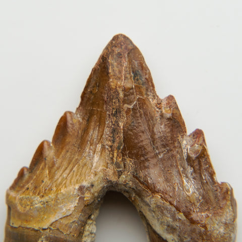 Genuine Natural Pre Historic Basilousaurus Whale Tooth