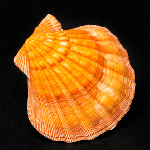 Lions Paw Scallop Shell (289 grams)