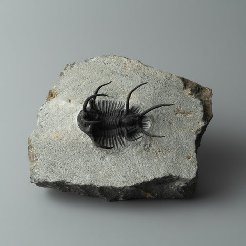 Ceratarges Spinosus Trilobite from Morocco (365.5 grams)