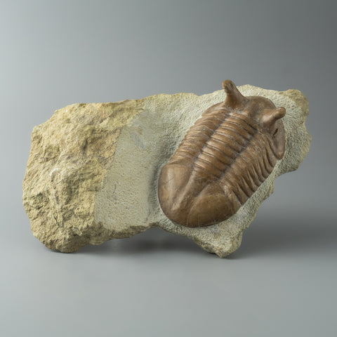 Asaphus intermedius Trilobite from Morocco (708.1 grams)