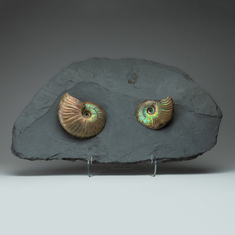 Cleoniceras Ammonite from Madagascar (9.5 lbs)