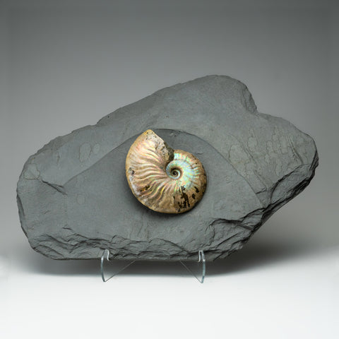 Cleoniceras Ammonite from Madagascar (8.5 lbs)