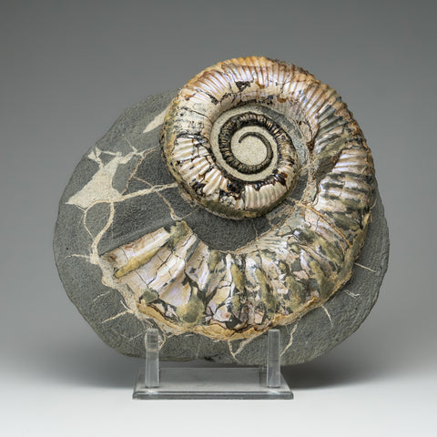 Ammonite on Matrix from Madagascar (11.5 lbs)