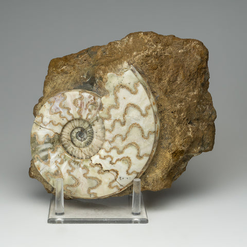 Ammonite on Matrix from Madagascar (6.5 lbs)