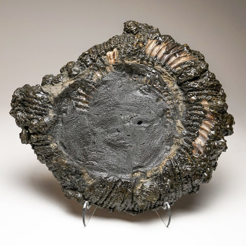 Pyritized Ammonite From Moscow, Russia (9 lbs)