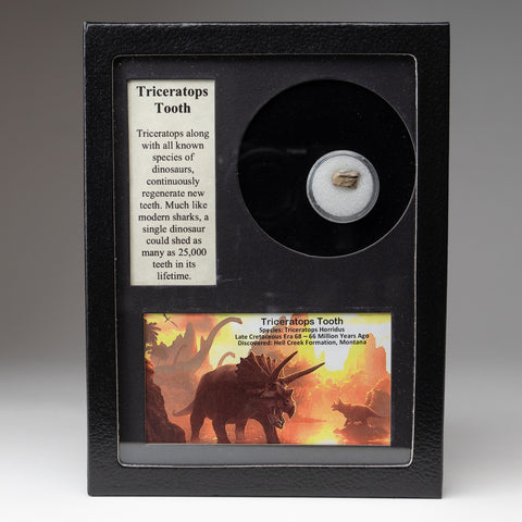 Genuine Triceratops Tooth in a Glass Display Box