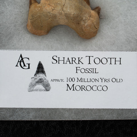 Shark Tooth Fossil From Morocco
