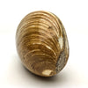 Polished Fossilized Clam Shell - Astro Gallery