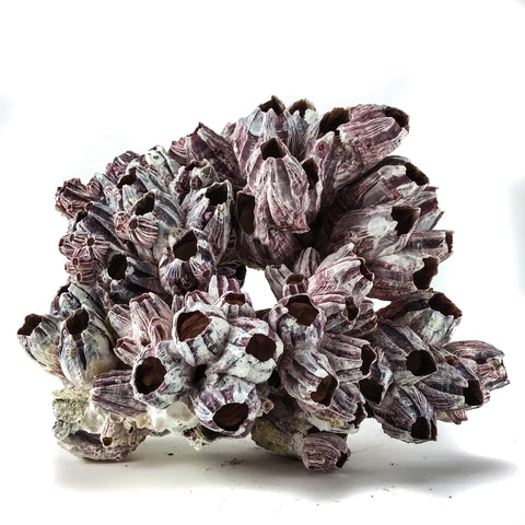 "Purple Barnacle Coral (6"") - Astro Gallery"