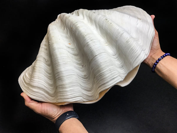 "Clam Shell (17"") - Astro Gallery"