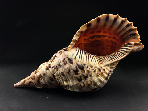 Atlantic Triton Shell