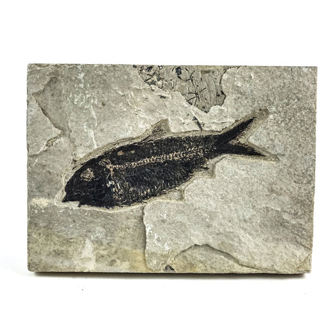 Knightia Fossil Fish from Wyoming (2 pounds) - Astro Gallery