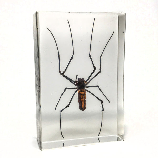 Golden Orb Web Spider - Astro Gallery
