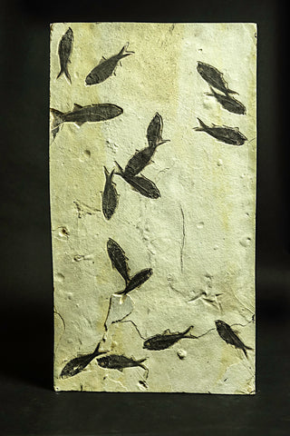 Diplomystus Fish Fossil Plate From Green River Formation, Wyoming, USA