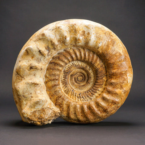 Large Ammonite Fossil from Madagascar (50.5 lbs)