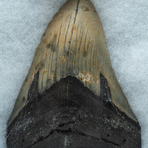 Genuine Megalodon Shark Tooth in Display Case (223.8 grams)