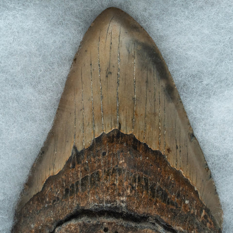 Genuine Megalodon Shark Tooth in Display Case (221.5 grams)
