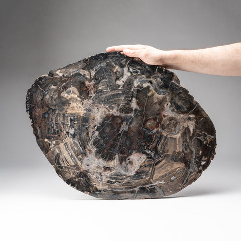 Petrified Wood Slice from Madagascar (16 pounds)