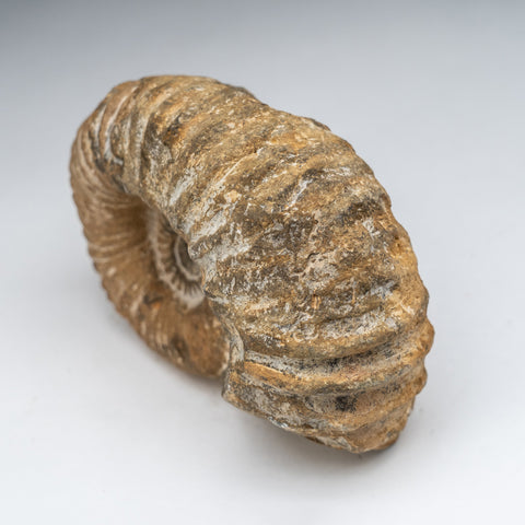 Natural Ammonite Fossil from Madagascar (4 lbs)