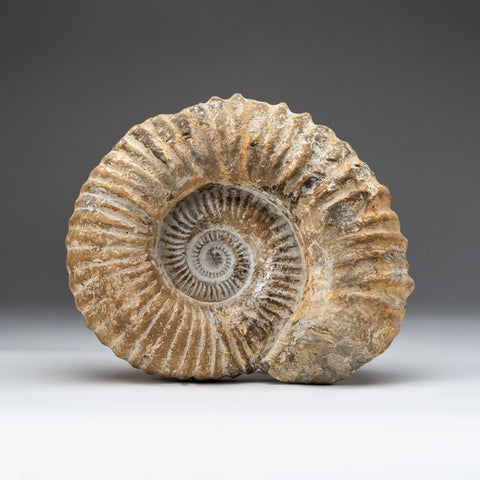 Natural Ammonite Fossil from Madagascar (14 lbs)