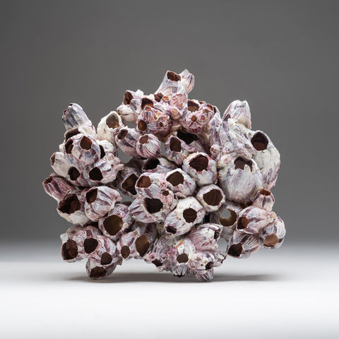 "Natural Purple Acorn Barnacle Cluster (3.8"" 5.5 lbs)"