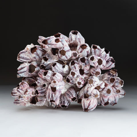 Natural Purple Acorn Barnacle Cluster (3.8 lbs)