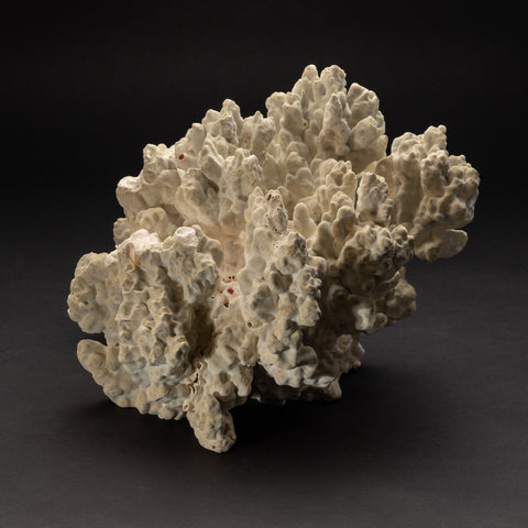 "Natural Green Fire Coral (12"" 12.6 lbs)"