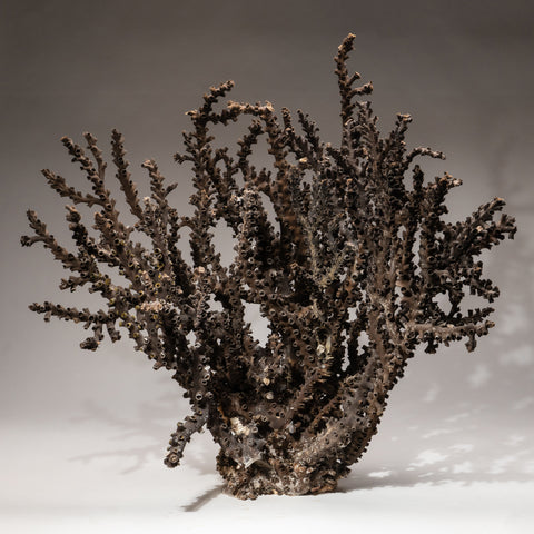 Genuine Brown Staghorn Coral (18.6 lbs)