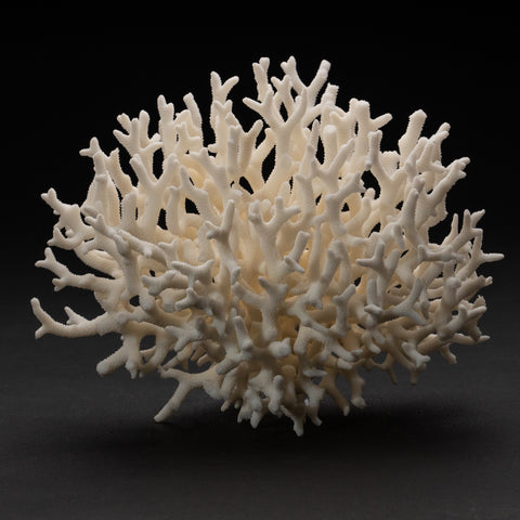 Genuine Birds Nest Coral (1.4 lbs)