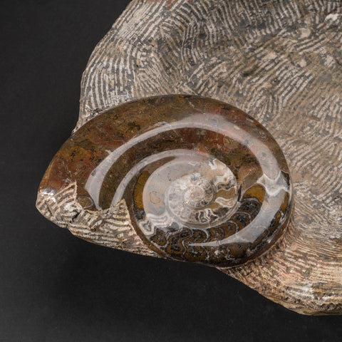 Genuine Fossilized Ammonite Bowl (32.4 lbs)