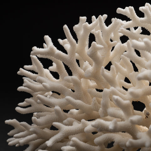 Genuine Birds Nest Coral (1.2 lbs)