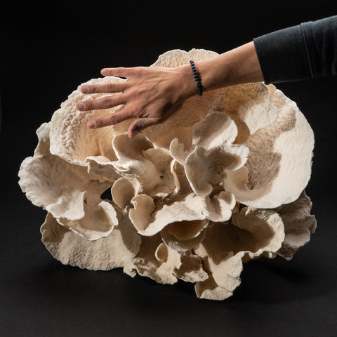 "Genuine Giant White Cup Coral (14.5"", 19.4 lbs)"