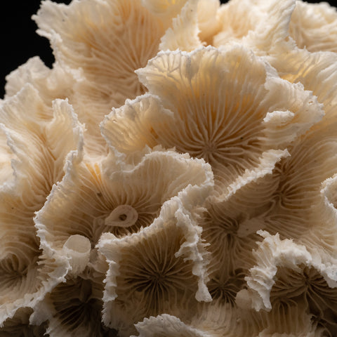 Genuine Lettuce Coral (3.4 lbs)