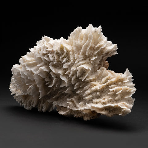 Genuine Lettuce Coral (2.8 lbs)