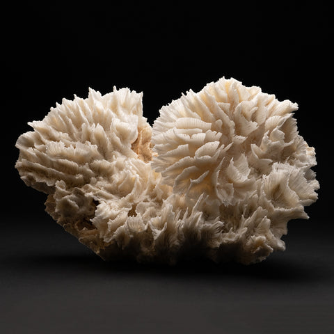Genuine Lettuce Coral (7.2 lbs)