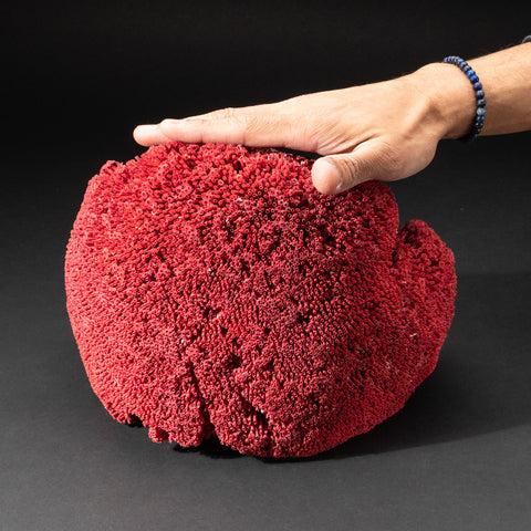 Genuine Red Pipe Organ Coral (2.8 lbs)