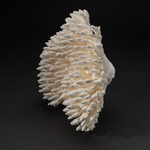 Genuine White Table Coral (4 lbs)
