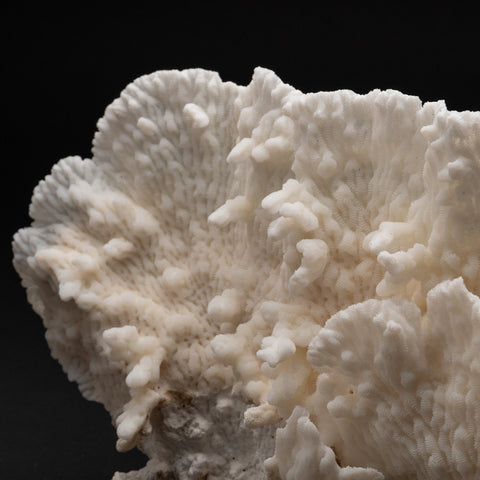 "Genuine White Ridge Coral (10"" 3.6 lbs)"