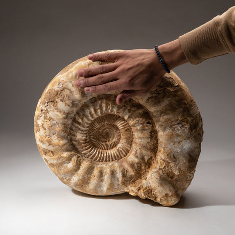 Large Ammonite Fossil from Madagascar (40 lbs)