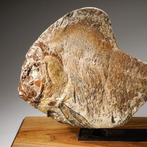 Genuine Fossilized Fish on Custom Wood/Iron Display Stand (4.8 lbs)